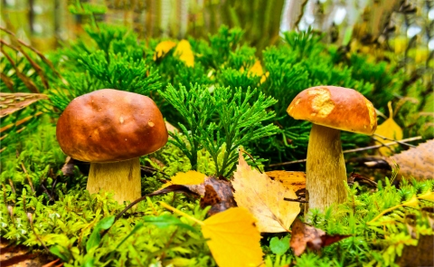 How can Medicinal Mushrooms Help your Body?